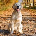 Wallpaper Golden Retrievers icon