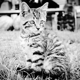 by Lindsay Nickel - Animals - Cats Kittens ( black and white, animal )