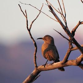 Curved Bill Thrasher by Dub Scroggin - Animals Birds ( bird, sonoran desert, curved bill thrasher, arizona, tucson,  )