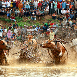 Traditional racing cow by Muhasrul Zubir - News & Events Entertainment