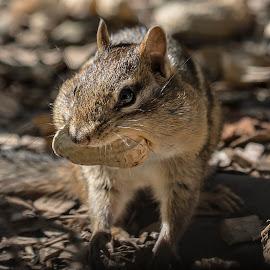 Big Mouth by Karen Raymond Burke - Animals Other Mammals ( animals, peanut, nature, chipmunk, wildlife, cute, cheeks, close up )