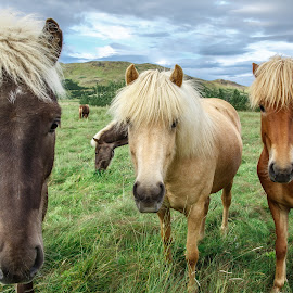 Blonde, Brunette or Redhead? by David Long - Animals Horses ( iceland, horses )