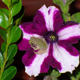 tree frog on petunia by Julie Granger - Nature Up Close Gardens & Produce