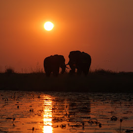 Amarula sunset by Willie Leeuwner - Landscapes Sunsets & Sunrises ( sunset, elephant )