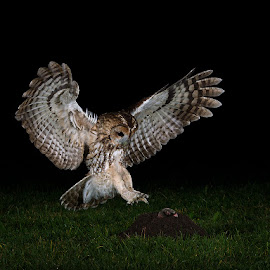 tawny owl catching mole by Paul Hudson - Animals Birds ( flight, mole, owl, night, tawny )