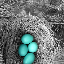 safe and sound... by Crystal Shepherd - Nature Up Close Hives & Nests ( nature, robin eggs, black and white, nest, spring, birds )