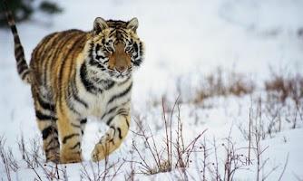 Screenshot of Tiger HD LWP Lite