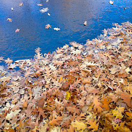 Transition by David Stone - Nature Up Close Leaves & Grasses ( water, fall leaves, fall colors, ice, reflections, leaves )