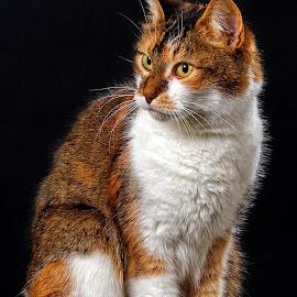 Her Majesty by John Phielix - Animals - Cats Portraits ( pose, cat, dark, mammal, animal,  )