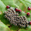 Stink bug hatchlings