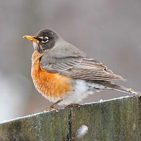 American Robin by Ann Bjerring Ravn Weis - Animals Birds