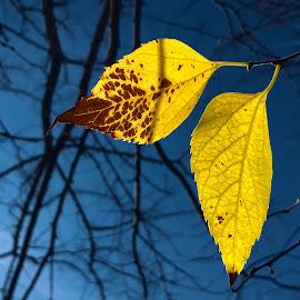 last survivors by Emina Dedić - Instagram & Mobile Other ( autumn leaves, fall colors, autumn colours, yellow, leaves, fall leaves, sky, blue sky, tree, autumn, blue, fall, yellow leaves, branches )