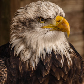 Concentrated by Garry Chisholm - Animals Birds ( bird, garry chisholm, eagle, nature, wildlife, prey, raptor )
