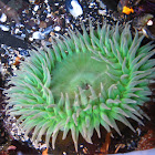 Giant Green Anenome
