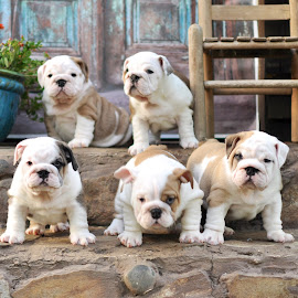 Puppy Love by Kim Brown - Animals - Dogs Puppies ( ssenglishbulldogs,  )