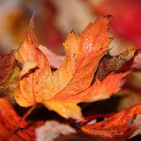 Autumn Leaves by Janet Herman - Nature Up Close Leaves & Grasses ( nature leaves, red, autumn, fallen, colors, fall, yellow, leaf', colours )