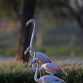 Greater Flamingo by Devki Nandan - Animals Birds