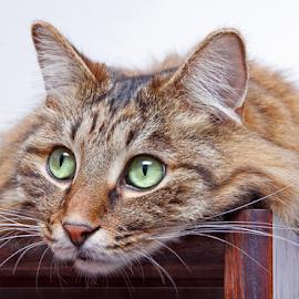 Monitoring by Mia Ikonen - Animals - Cats Portraits ( kurilian bobtail, monitoring, gorgeous, finland, intent,  )