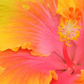 Hibiscus Flower by Britney Elsbury - Nature Up Close Other plants