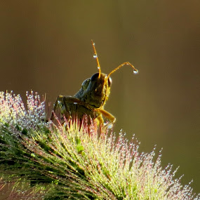 Wet morning by Diane Ebert - Uncategorized All Uncategorized ( #grasshopper, #insect, #macro,  )