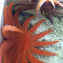 Sunflower sea star