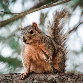 Squirrel by Wes Jourdan - Animals Other Mammals ( tree, squirrel )