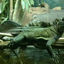 Phillipine sailfin lizard