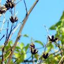 Crepe Myrtle seed Pod