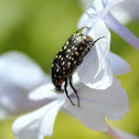 Common Dotted Fruit Chafer
