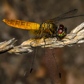 Red and gold by Tamal Das - Nature Up Close Other Natural Objects ( macro, nature, fly, dragonfly, eye )