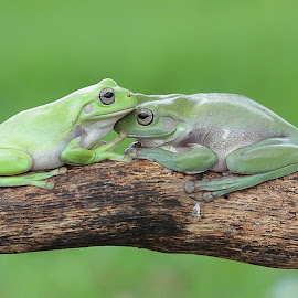 Frog Couple by Thomp Jerry - Animals Amphibians ( macro, macrophotography, macro photography, amphibians, macro shot )