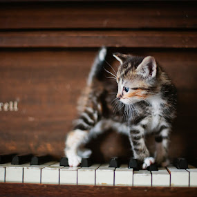 Kitten on Keyboard by Kristen VanDeventer Rice - Animals - Cats Kittens ( tiny kitten piano keys grey white ivory music cat little )