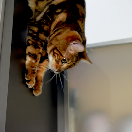 Zen with a slide and a jump by Lin Fauke - Animals - Cats Playing ( cabinets, wild, cat, kitten, height, asian leopard, pet, exotic, bengal, jump )