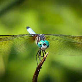 Dragon Fly by VAM Photography - Animals Insects & Spiders ( nature, places, dragonfly,  )
