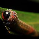 Longtailed sawfly