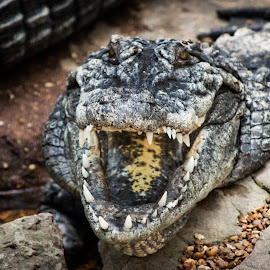 Crocodile by Mary Phelps - Animals Reptiles ( memphis, zoo, crocodile, tennessee, memphis zoo )