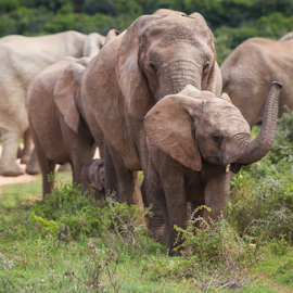 follow the leader by Wim Moons - Animals Other ( addo, elephant, south africa, endangered, wildlife )