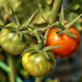 Cherry Tomatoes on the Vine by Rhonda Musgrove - Nature Up Close Gardens & Produce ( plant, cherry, tomato, vine, garden )