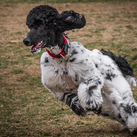 Sophie by Ron Meyers - Animals - Dogs Running