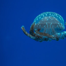 Spotted Jelly 1 by John Cianfarani - Animals Sea Creatures ( aquarium toronto )