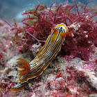 Nudibranch: C.colemani