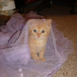Princess Elvie by Jacki Barber - Animals - Cats Kittens ( novice,  )