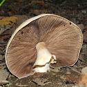 Agaricus sp