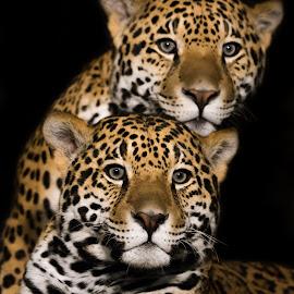 Jaguar Pair II by Abeselom Zerit - Animals Lions, Tigers & Big Cats ( big cat, jaguar, wisconsin, cat, descriptors, mammal, united states, milwaukee, zoo, nature, group, milwaukee county, animal )