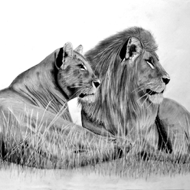 The Glance by Paul Murray - Drawing All Drawing ( pencil, lion, graphite, nature, wildlife, drawing, animal )
