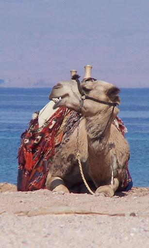 駱駝:動物拼圖
