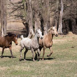 Moolman's trio by André Norris - Animals Horses