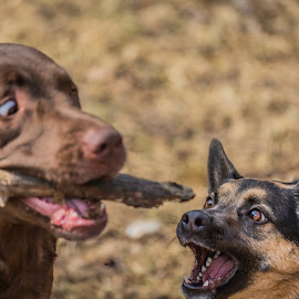 Hey give me my stick by Leon Herbert - Animals - Dogs Playing ( dogs, ohio, pets, g+, leon herbert photography, cincinnati, dogscapades )