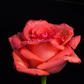 rose by Cristobal Garciaferro Rubio - Flowers Single Flower