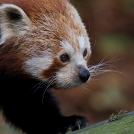 Red Panda by John Dutton - Animals Other Mammals ( foraging, red panda )